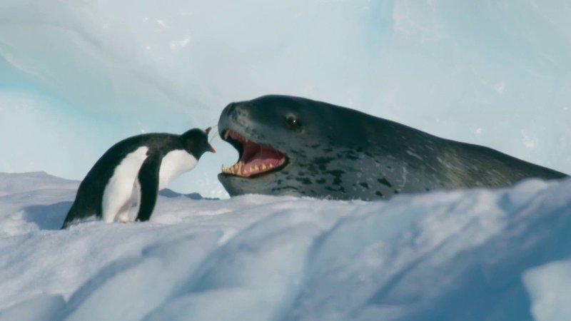 En leopardsel og en pingvin i en intenst kamp om tilværelsen.
