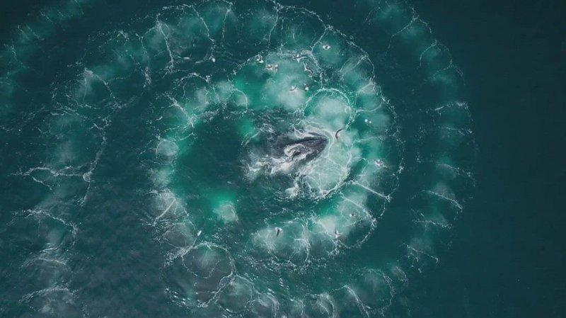 Knølhva spiser krill