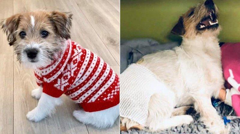 Hunden Bacon før og etter påkjørselen.