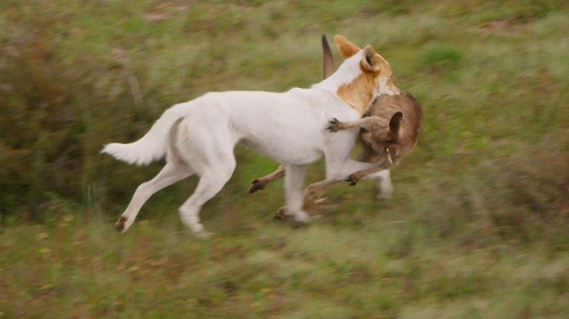 Dingo på jakt