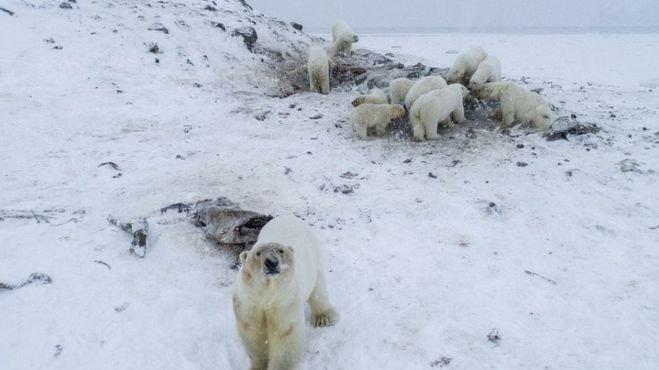Isbjørner i nærheten av den russiske landsbyen Ryrkaypiy.