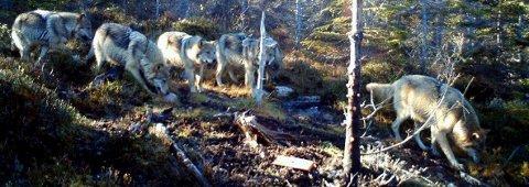 Viltkameraet til Jan Linstad i Trysil fanget opp de oppsiktsvekkende bildene av seks ulver i oktober i fjor.
