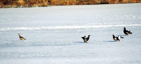 Leker: Det bruser i blodet og fjærene til orrhanene på Mosjøen. – Men høna gjør seg veldig kostbar, fastslår John Willy Andersen, som fanget leken med kamera. Foto: John Willy Andersen