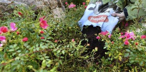 Rosebuskene blir glad for litt kugjødselkompost før vinteren. Beskjær dem bare lett om høsten og fjern visne og stygge blomster.