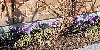 Krokusen er utålmodig etter å vise seg fram. Ikke før snøen har forsvunnet så bryter blomsten opp og bretter ut sine fargerike kronblader. FOTO: KAY OLAV WINTHER D.E.