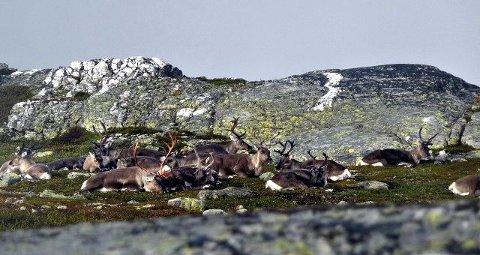 SIMLEFLOKK: Her har flokken tatt seg en hvil på Blefjell. I forbindelse med jakta skal skoleelever ved naturbruk telle stammen.