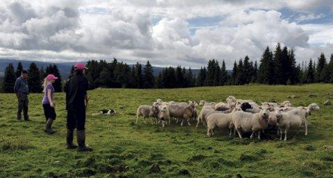 SANKING: Tormod Skramstad (til høyre) har begynt arbeidet med å sanke inn sauer fra utmarka. Nå skal de innenfor rovdyrsikrede gjerder.