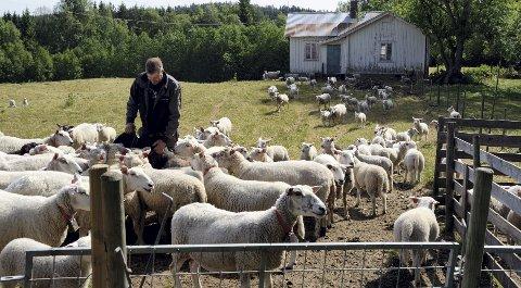 Gir opp: – Dette går ikke stort lenger. Jeg kan ikke ha 400 sau på innmarksbeite, sier sauebonde Arne Ivar Skramstad i Gjesåsen.begge foto: sverre viggen