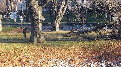 Kerry Ann Rosland i Horten forteller hun skvatt skikkelig da dette treet blåste ned like bak henne.