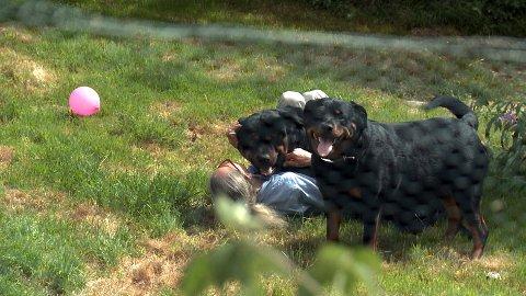 Oppdretteren er bare 40 kilo, og rottweilerne er dobbelt så tunge og lekne.