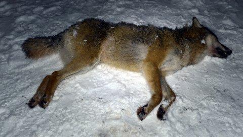 UNG OG KRAFTIG: Stein Erik Bredvold karakteriserer den ihjelkjørte ulvetispa som ung og kraftig. Han skal ta forskjellige prøver av ulvetispa før den sendes videre.
