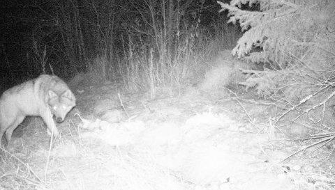 Øystein Eriksens viltkamera i Kodalveien i Sandefjord har trolig tatt bilde av en ulv.