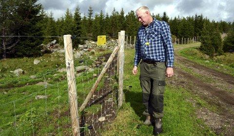 HØYT: Sauebonde Tormod Skramstad i Åmot konstaterer at det rovdyrsikre gjerdet på drøye 1,3 meter, fungerer som det skal.