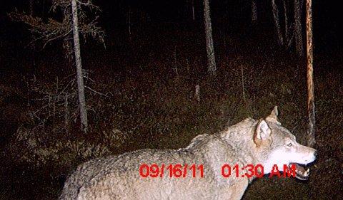 Her er bildet viltkameraet tok av ulven i Urlia klokka halv to natt til fredag. Og ingen kan nekte for at det ser ganske så ekte ut.