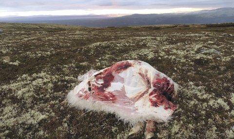ULV: Tor Åsheim har mistet 15 sauer og savner 28. Bildet er tatt etter ulveangrepet på Kvitvola tidligere i sommer.