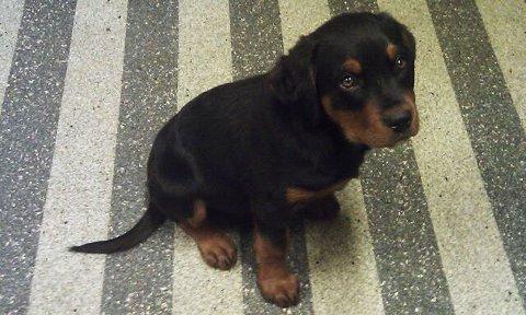 Grenland dyrepensjonat har nå funnet et nytt hjem til Rottweiler-valpen.