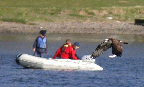 BYTTET SIKRET: Fiskeørnen har akkurat kommet seg opp av vannet og flyr lavt med en fisk i klørne. Foto: Svein Andersen