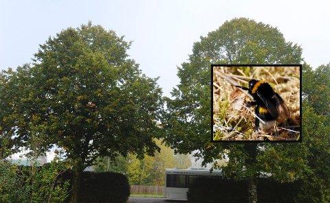 Insektforsker Frode Ødegaard ved NINA synes det er forsket overraskende lite på hva som forårsaker massedød blant en av våre viktigste bestøvere, humlene, under noen lindetrær. Dette gjelder blant annet hybriden parkklind, her på Nøtterøy kirkegård.