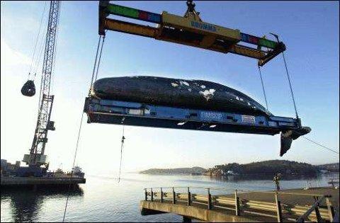 Den døde spermasetthvalen veier 28 tonn og er 14 meter lang. Tungt maskineri og mange timer måtte til for å gi den avdøde kjempen fast grunn under buken.