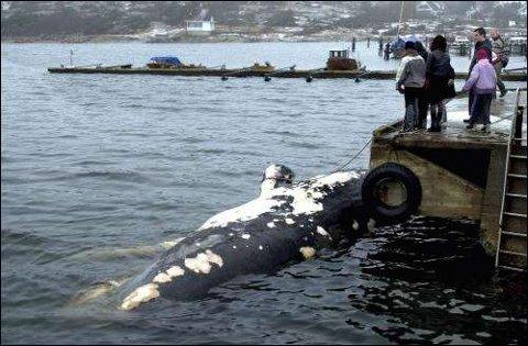Hvordan kommunen skal kvitte seg med den døde spermasetthvalen som ble funnet drivende i Oslofjorden tirsdag er ennå ikke klarlagt. Endelig avgjørelse i saken ventes i dag.