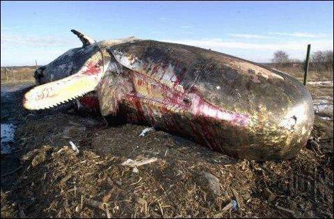 Det er funnet tydelige spor etter en kraftig betennelse i den døde spermasetthvalens skalle.