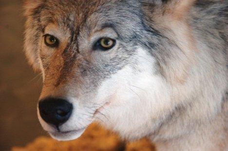 Stig Børge Skaverns finske spets tatt av ulv under fuglejakt i Ulvådalen i Åmot på lørdag.