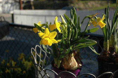 De knallgule påskeliljene kan komme igjen til neste år, dersom du tar vare på løken.