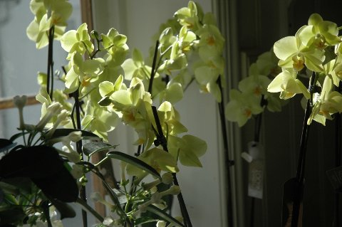 Også gule orkidéer er populære innslag på denne tiden.