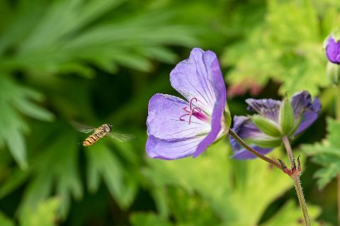 Blomsterfluer ligner på små veps. De flyr imidlertid på en egen måte og står tilnæmet stille i lufta.
