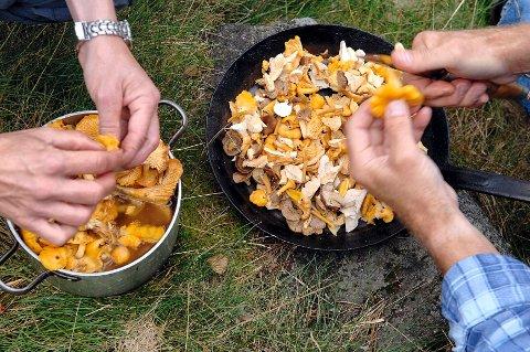 Er du helt sikker på at soppen er spiselig, kan du med fordel grovrense den på plukkstedet: Kantareller er det vanskelig å ta feil av.