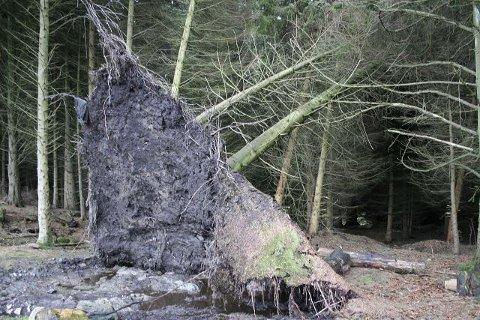 Trærne er revet opp med roten etter stormen.