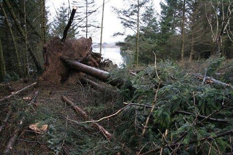 STORE SKADER: Stormen veltet 20 – 30 trær.
