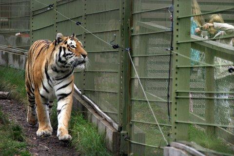 Verdens største kattedyr, amurtigeren (tidligere kalt sibirsk tiger) stiller opp til fotografering ved gjerdet. Amurtigeren er akutt utrydningstruet, med under 500 viltlevende dyr igjen.