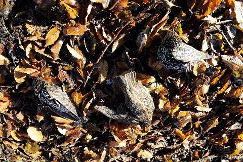 Ingen kan si hva som tok livet av en rekke stær i Badeparken i november i fjor. Ingen av dem ble undersøkt. Arkivfoto: Olaf Akselsen