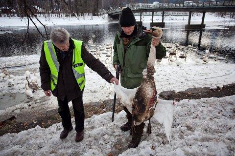 Erik Grundstrøm fra naturoppsynet i Drammen kommune og Hans Lennart Lindkjølen fra Statens Naturoppsyn avlivet en tilgriset svane ved Landfalløyabrua for å sende den inn til prøver.