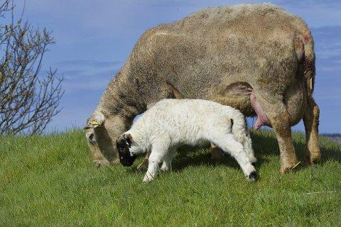 «Mor» og sønn: Surrogatsauen og hennes værlam av rasen svartfjes. Foto: terje størksen
