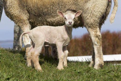 Fransk vri: Slik ser et par dager gammelt charollaise-lam ut. Langbeint og tynn som nyfødt.