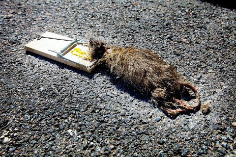 Vil du at de hårete skadedyrene skal gå i rottefella, bør du ikke lokke med ost. Nøttepålegg er rottenes favoritt.