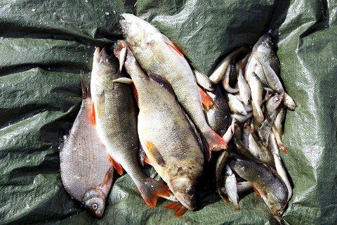 Prøvefisket i Østensjøvann ga smekkfulle garn av både mort, abbor, karuss, sørv, brasme og gjedde. Det er bare gjedda som er ønsket i vannet.
