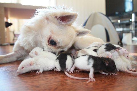 Når Kasper legger seg ned på stuegulvet vil rotteungene ha kos og trygghet.