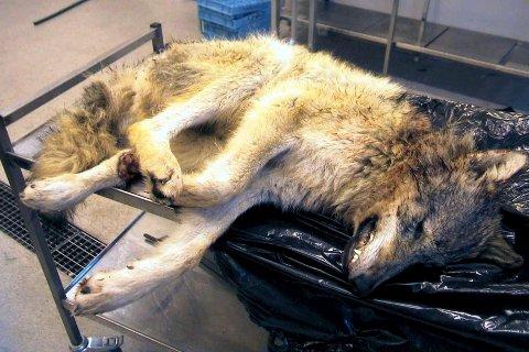 Ulovlig jakt på ulv er det vanligste dødsårsaken, emner ekspeter, som nå varsler om rekordmange valpekull i grenseområdene.
