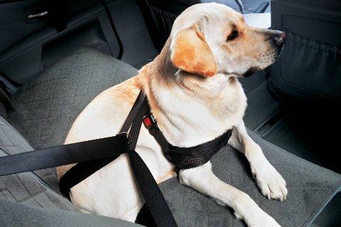 Pass på hunden i sommervarmen. En varm bil kan ta livet av hunden.