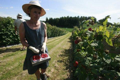 Nå er de første bringebærene klare for innhøstning og salg. Åse-Marit og Roy tar for seg rad for rad, og plukker bærene med nøysom hånd.