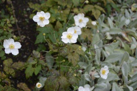 BLOMSTRER FORTSATT: Selv langt utpå høsten er det mye blomster i parken.