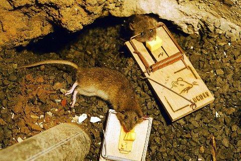 Når kulda kommer, dukker rottene opp igjen. Det er bare å finne fram fellene.