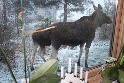 Ekteparet Håland fikk fire elg inn i hagen torsdag morgen.