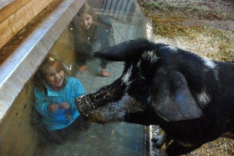 Man kan oppleve rundt 70 forskjellige dyrearter i arken. Her har Johanna (4) og Hulda (11) Holtvedt svåget seg inn i tunnelen i landsvinets store grisebinge.