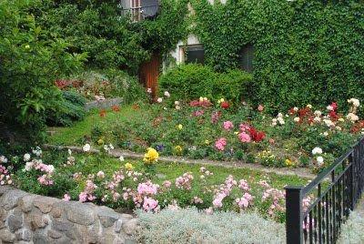I juli kunne man se denne rosehagen i full blomst - midt i Drøbaks hovedgate. FOTO: KAY OLAV WINTHER D.E.