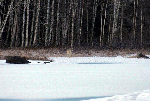 Brede Brukstuen tok ulvebildene fra 400 meters avstand. Foto. Brede Brukstuen.
