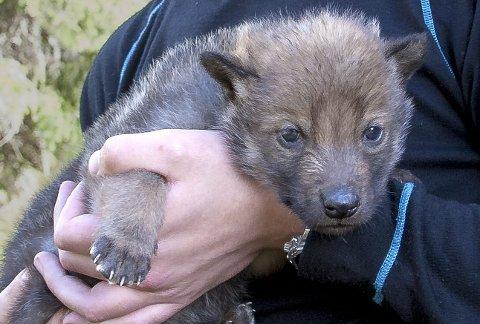 BEVIS: DNA-prøvene viser at denne ulvevalpen er et resultat av paring mellom tispa og en av sønnene hennes i Slettåsflokken. Foto: Emil Halvorsrud/SKANDULV